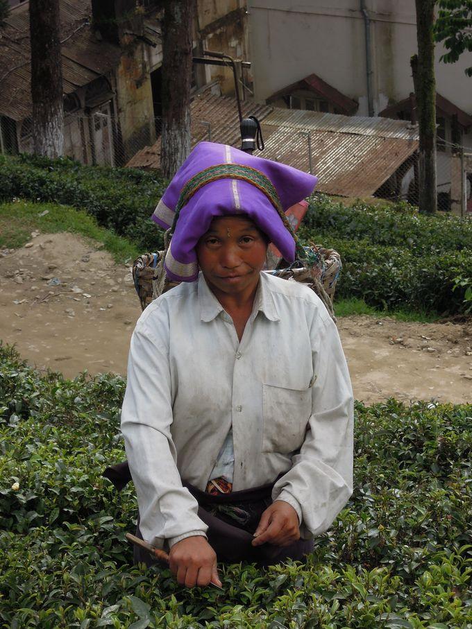 紅茶園で働く人々