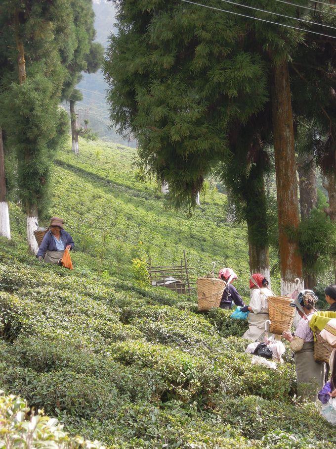 茶摘の季節