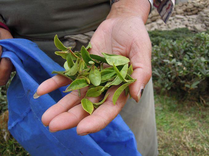摘み立ての茶葉