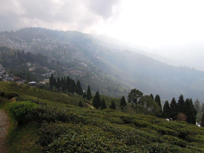 霧にけぶる紅茶畑
