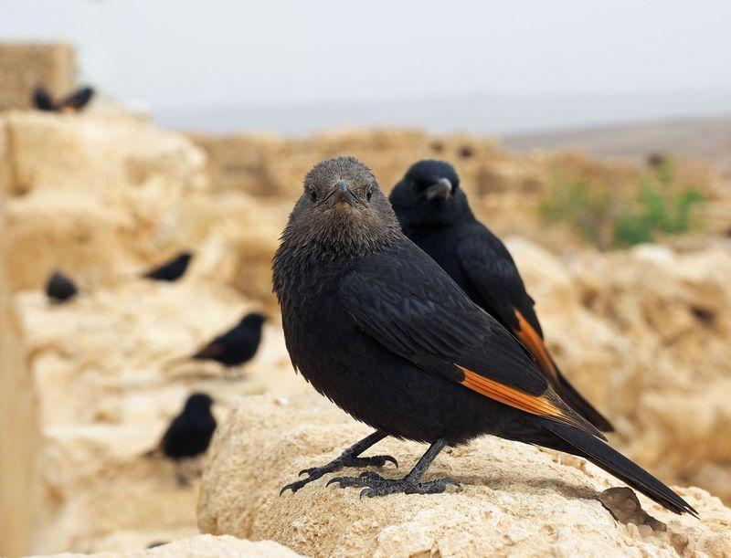天空の遺跡の覇者:野鳥トリストラムを見よう!