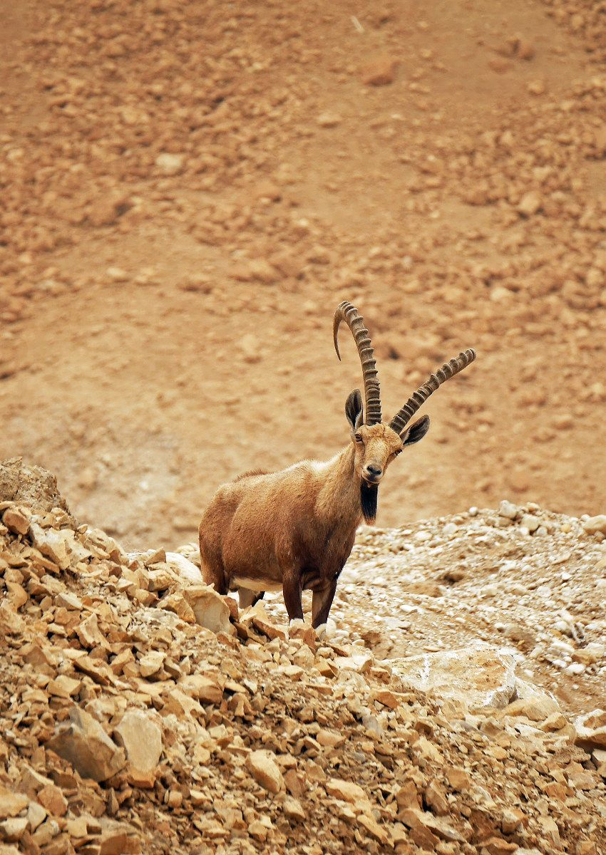 荒野に生きる絶滅危惧種ヌビアアイベックス