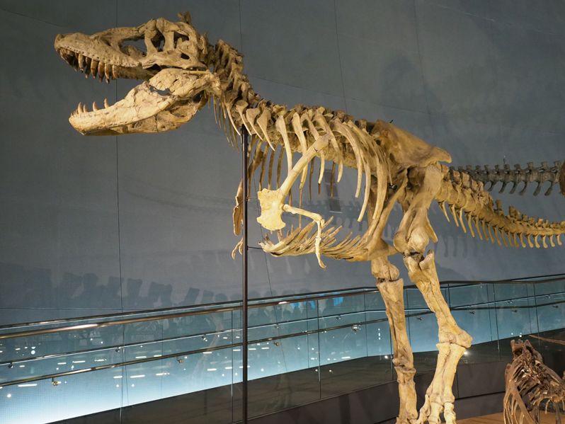ジオラマから恐竜の骨格展示へ