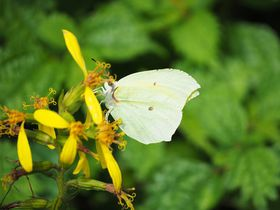 雲上の楽園!滋賀「伊吹山」で美しい花と蝶を観察しよう!