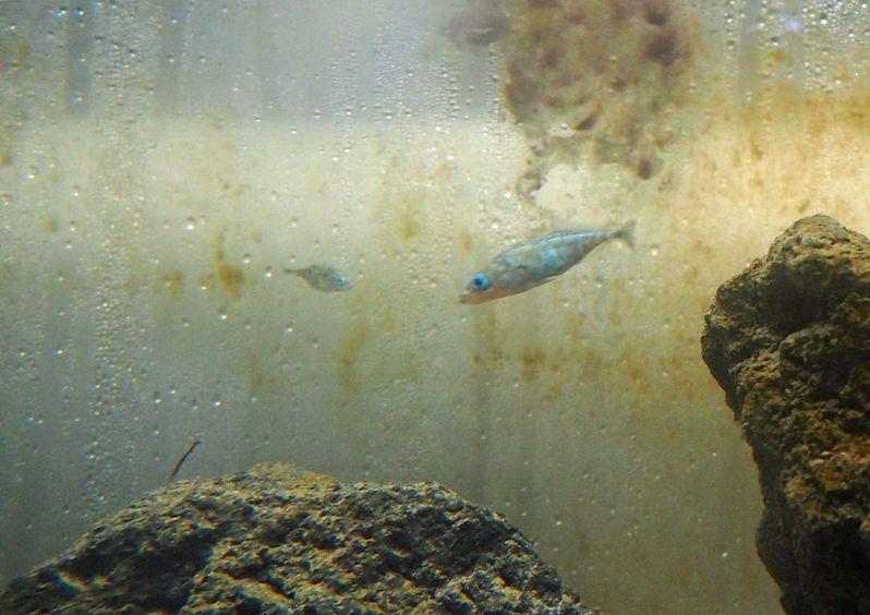 ハリヨ(針魚)は貴重な淡水魚!