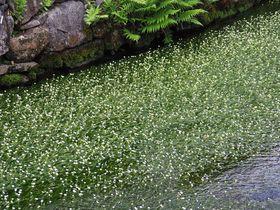 夏は滋賀県・醒井で梅花藻(バイカモ)の可愛い姿を観察しよう!