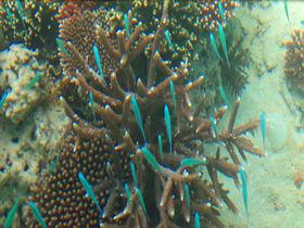 石垣島の川平湾で珊瑚礁の世界を楽しもう!