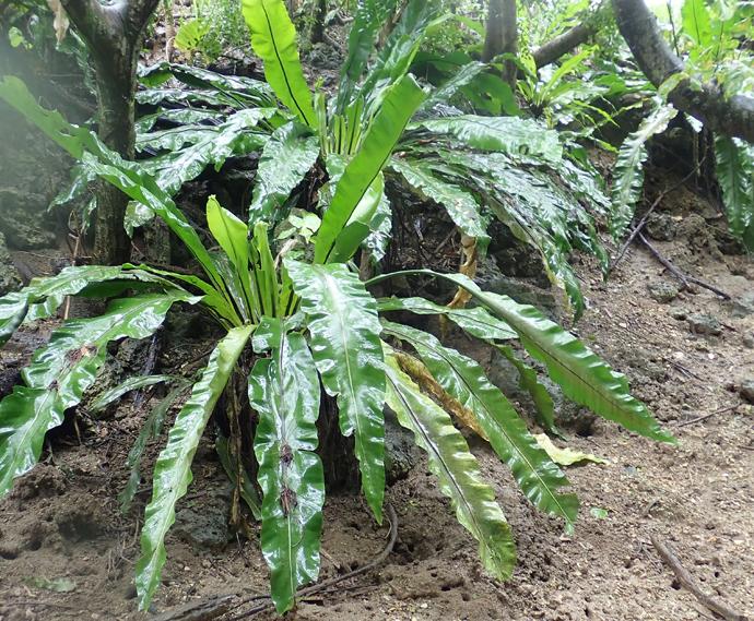 マングローブ林周辺の植物