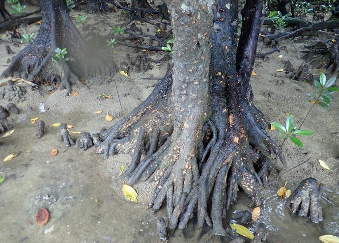 マングローブジャングルを歩く