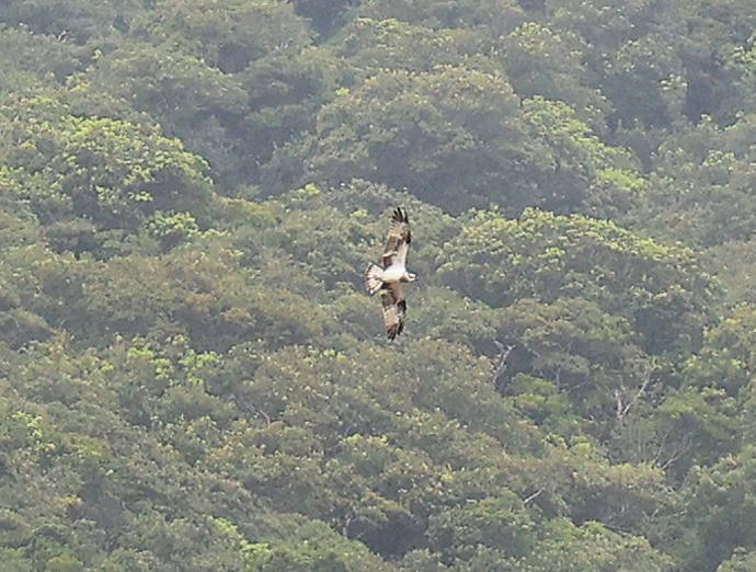 石垣島の野鳥たち