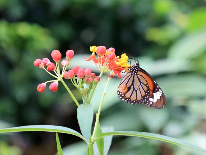 石垣島の蝶たち