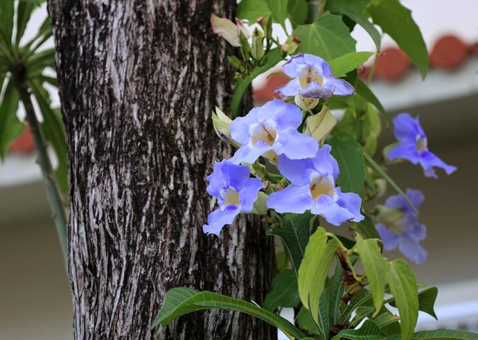 石垣島の珍しい花たち