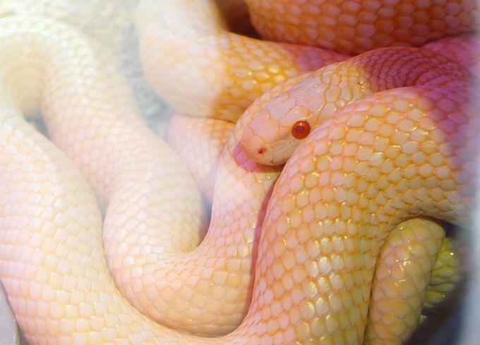 白蛇が間近で見れる!岩国シロヘビ館がリニューアルOPEN!
