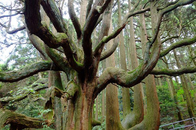樹齢400年超えの大杉は圧巻!