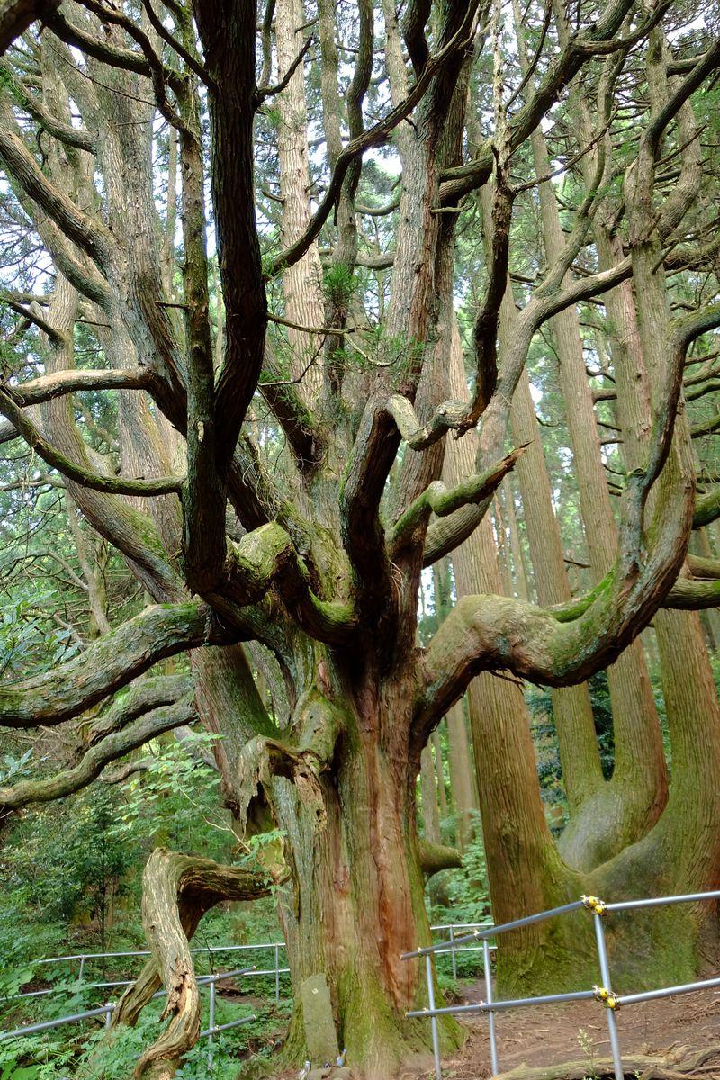 神秘的!圧倒的存在感に息をのむ熊本阿蘇の「高森殿の杉」