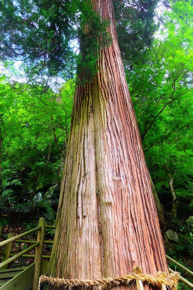 樹齢600年の権現杉