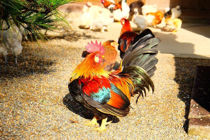 自由奔放な色鮮やかなニワトリたち