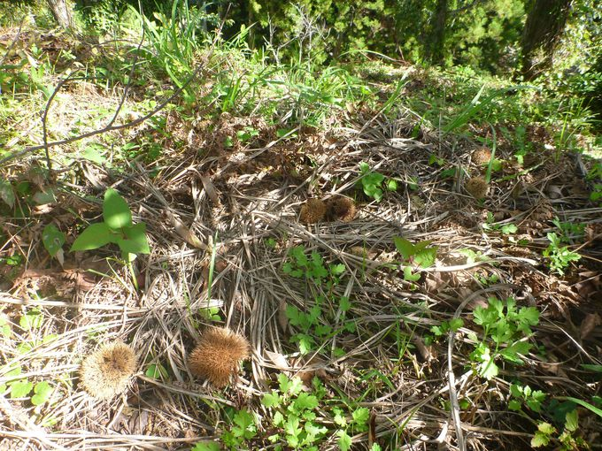 広大な敷地にたくさんの栗の木