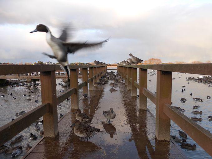 白鳥以外の水鳥もたくさん飛来