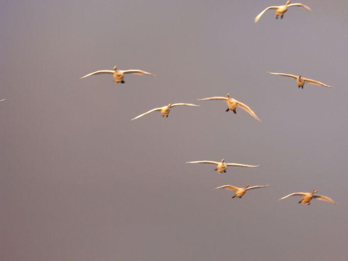 数千羽の白鳥が飛来!ラムサール条約にも登録「瓢湖」(新潟)