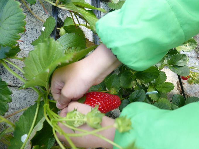 真っ赤に熟れた大粒、大甘のいちごを堪能