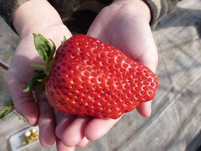 酸味とのバランスがよく、この農園ならではの巨大「紅ほっぺ」