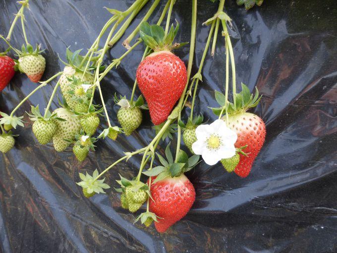 大粒で甘みが強く高級な品種「アイベリー」