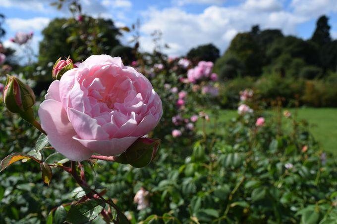 イギリスと言えばやっぱり薔薇!イングリッシュ・ローズにメロメロ