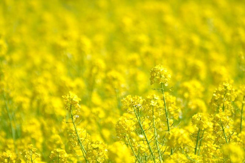 春の訪れを告げる、美しい菜の花