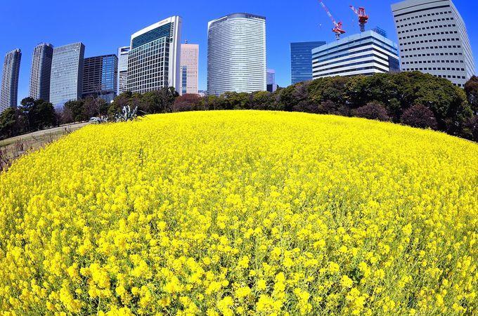 まさに都会のオアシス!高層ビル群に囲まれた菜の花畑