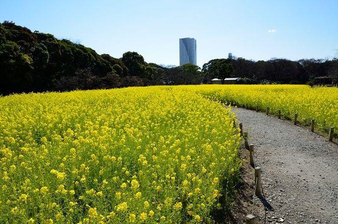 菜の花の中の道