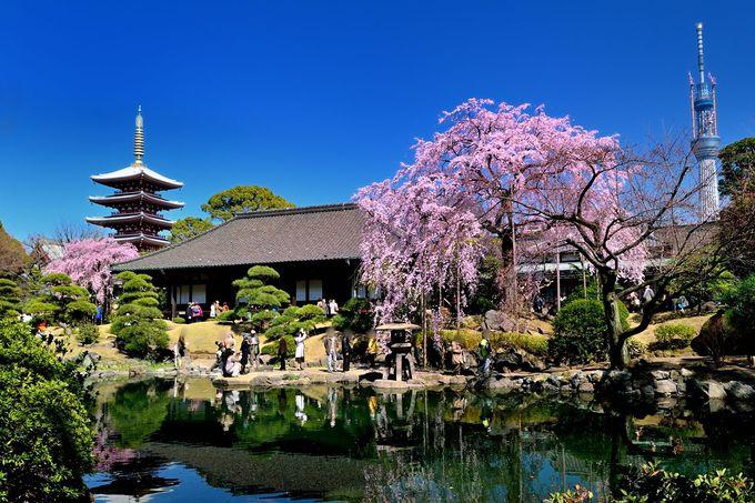 美しすぎるしだれ桜!五重塔×スカイツリー×桜のコラボが観られる「東京・浅草寺」
