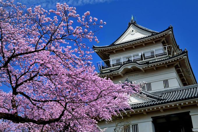 天守閣と桜の最強コラボ