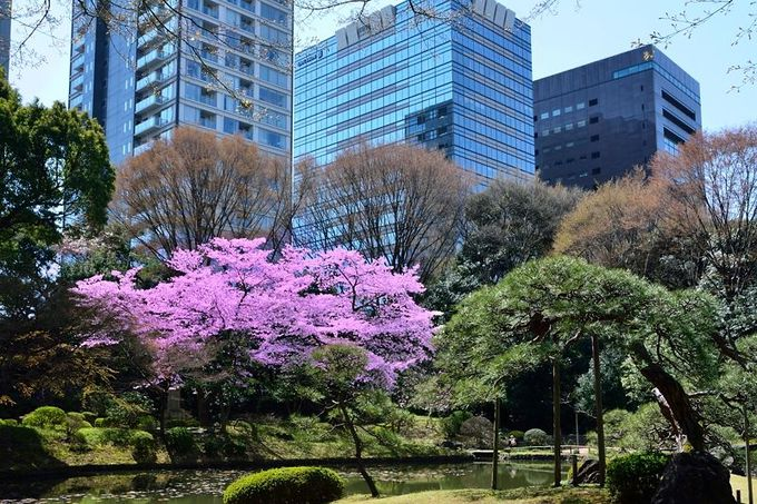 都会のビル群を背景に桜を愛でる
