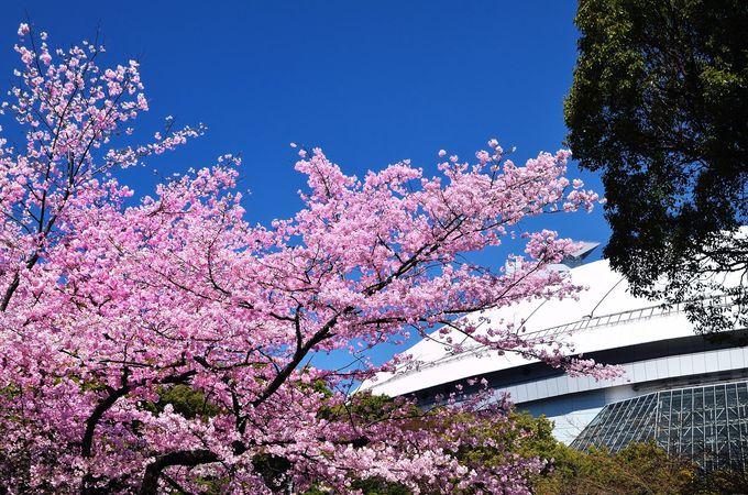 球春到来を告げる桜