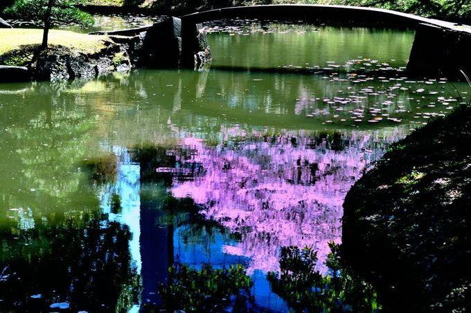 水面に映る桜も美しい!
