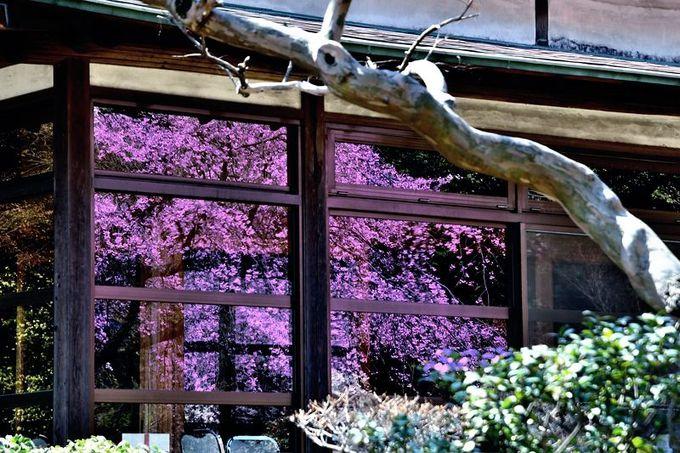 和風建築の窓にも桜