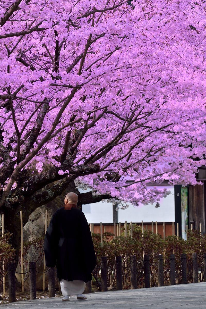僧侶も見とれる、古都の桜