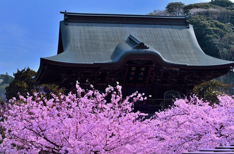 満開の桜の中に聳える山門