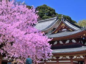 古都鎌倉を代表する「花の寺」!春の長谷寺で桜と絶景を楽しもう!