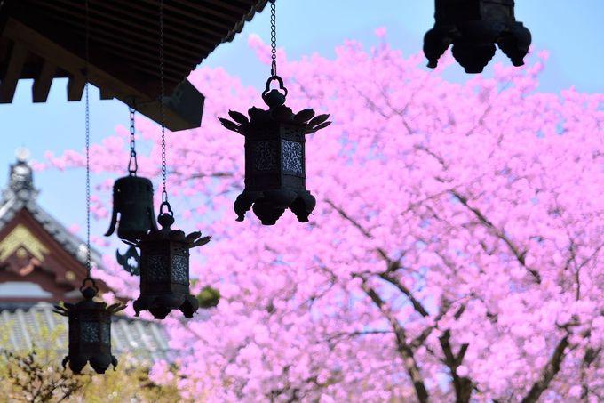 釣り灯籠と桜