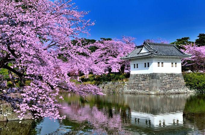 桜に囲まれた隅櫓に、日本の春の美しさを見る