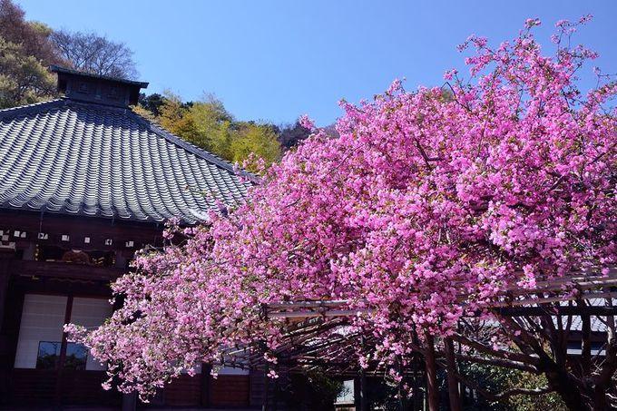 桜だけじゃない!光則寺で見る美しいカイドウ!