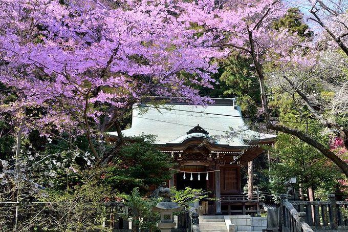 静かに桜を楽しめる!長谷の穴場的桜スポット!