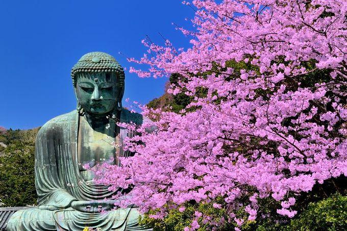 鎌倉大仏と桜の競演!
