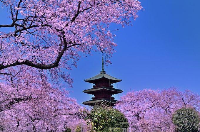 桜に囲まれた五重塔