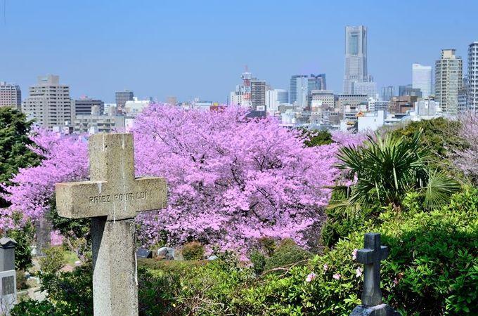外国人墓地と桜