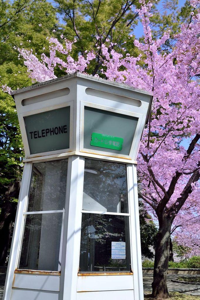 公衆電話と桜