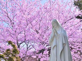 横浜山手は桜の名所でもあった!横浜屈指のお洒落スポットで桜巡りを楽しもう!