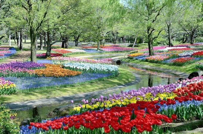 ここは東京?チューリップ畑が圧倒的に美しい「昭和記念公園」(東京)
